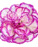 Dyeing carnations